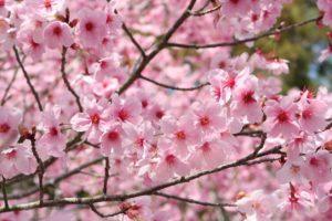 樹木葬のシンボルツリーに人気の花
